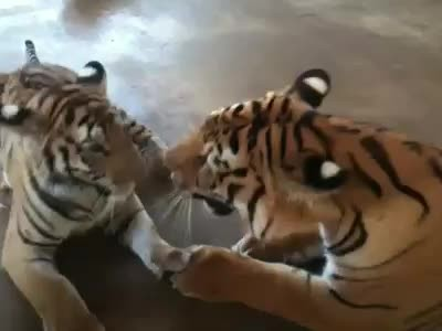 Sick tiger cub rescued from circus makes incredible recovery