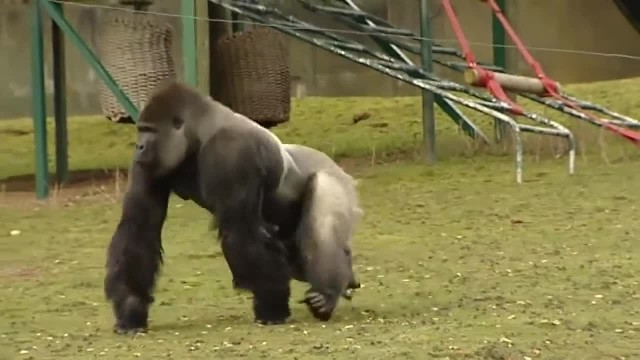 This gorilla is causing quite a stir. When he turns around, you'll see why!