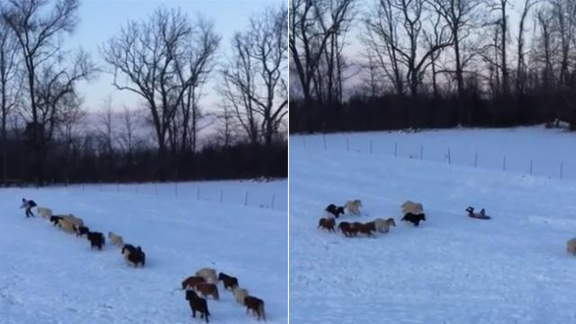 Mini horses adorably follow little boy for hilarious sledding session