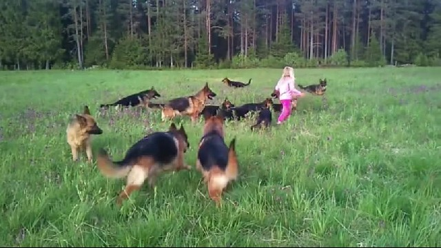 Little Girl Plays With 14 German Shepherds – This Is What Heaven Must Be Like