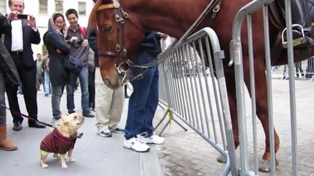 French bulldog approaches police horse, the horse's response has gone viral