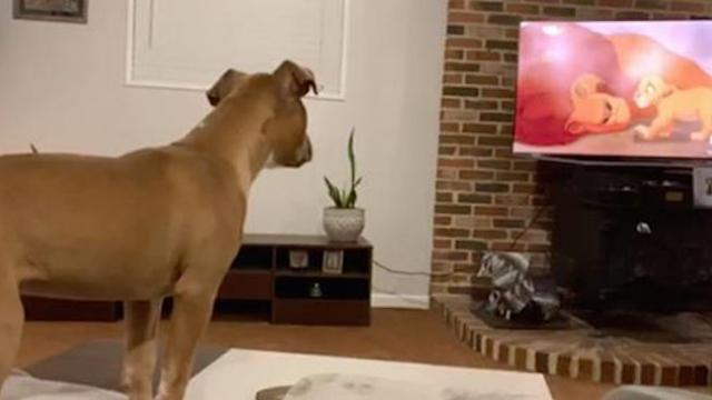 Puppy fascinated by 'The Lion King' gets so emotional when Mufasa dies in front of Simba