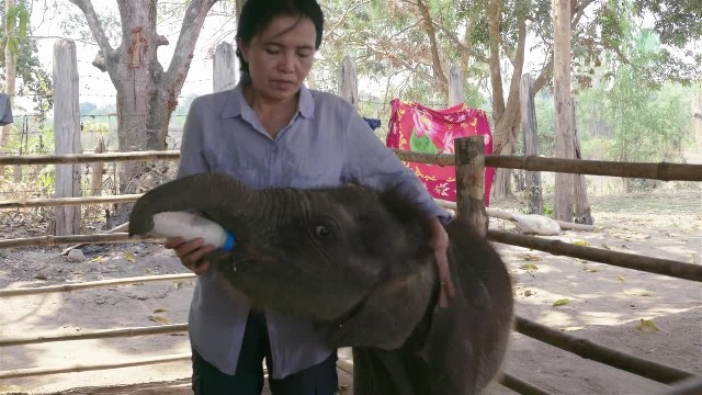 Orphaned baby elephant is depressed and can't sleep, until her caretaker starts singing lullaby