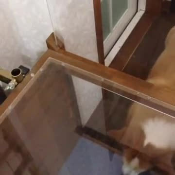 Short-legged Corgi has trouble getting up stairs, so dad builds him his own elevator