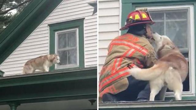 Captain rescues husky trapped on roof. Pup repays him with the biggest, wettest thank you.