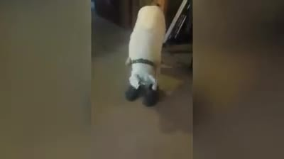 Human puts shoes on the floor in front of this pup. The dog proceeds to do a hysterical shuffle.2