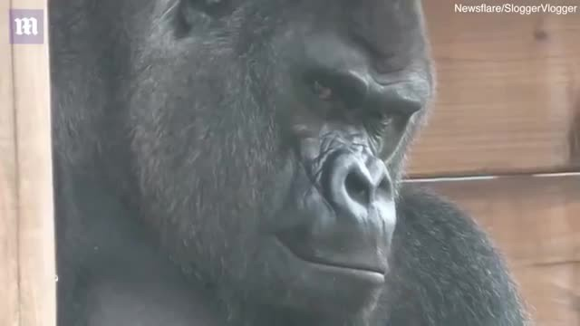 Hilarious Baby Gorilla Has The Time Of His Life Annoying Dad - Comedy Videos