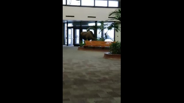 This Must-See Video Of A Moose Walking Into A Hospital Is Going Viral