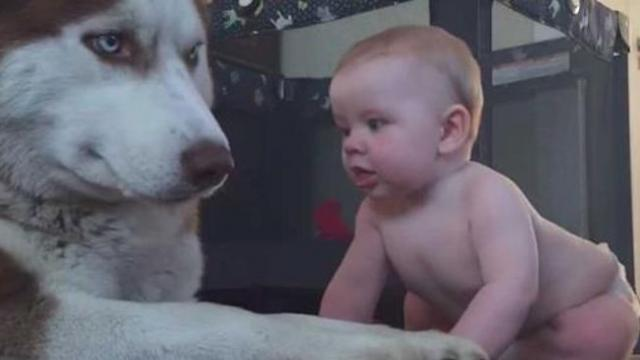 Baby attempts to sneak up on serious husky, canine's response has already gone viral