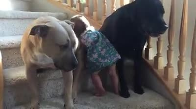 Girl tries to climb the stairs, but see what her dogs do