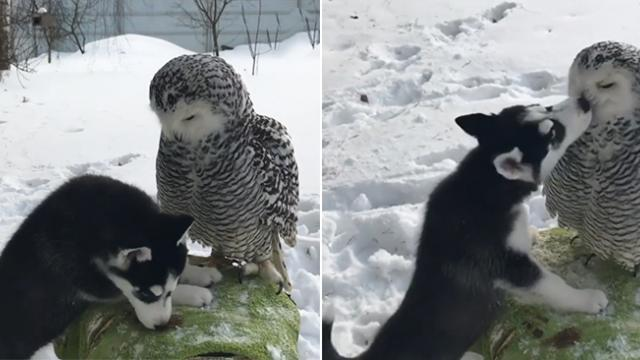Adorable husky puppy and his owl friend can't stop kissing each other