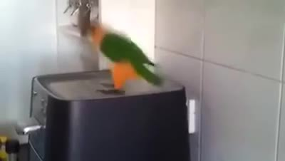 Parrot Starts Dancing To His Favorite Irish Song. His Moves Will Totally Crack You Up