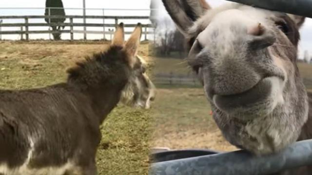 Baby donkey's sad missing mom only to have the sweetest reaction when he looks through gate