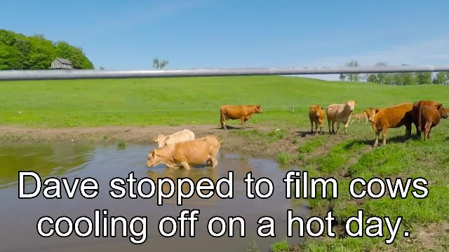 Man films herd of cows suddenly realizing 1 is desperate to get his attention for help