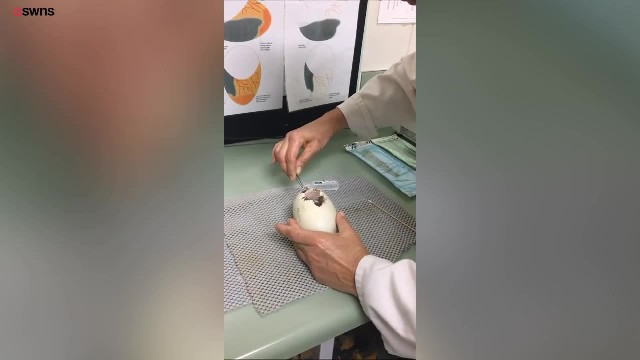 "Veterinarians Perform Rare ""C-Section"" On Egg To Help Special Creature Hatch"