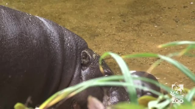 Baby Hippo Goes For His First Swim. When He Wiggled His Ears, I Couldn't Take It