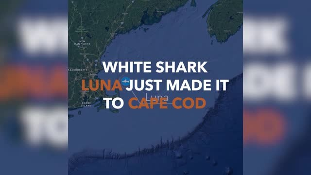 Great white sharks are clustering near the Carolina coastline