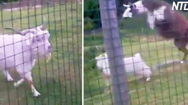 Goat starts acting aggressively toward passersby—then a terrifying llama puts him in his place!