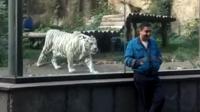 Watch what happens when this white tiger tries to attack his
