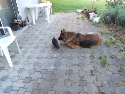 I thought i had seen everything …then i found this video of a dog and crow playing ball