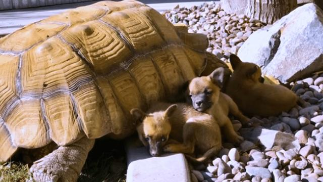 Orphaned puppies find solace in tortoise grandpa