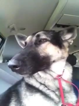 German shepherds favorite song plays on radio, her dance moves are lighting up the internet