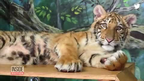 Cop Finds Black Duffel Bag Lying On Grass, Unzips It To Find Abandoned Tiger Cub