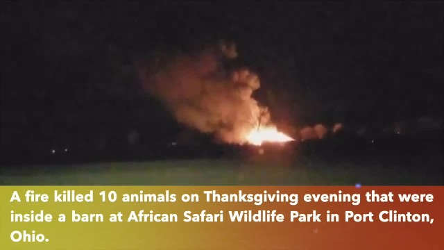 African Safari Wildlife Park in Ohio grieving the loss of 10 animals after blaze breaks out in barn