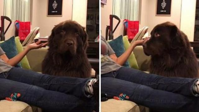 Adorable moment dog refuses to make peace with his owner before she expresses her heartfelt apology