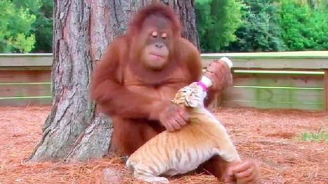 How the orangutan responded to this baby tiger left the workers