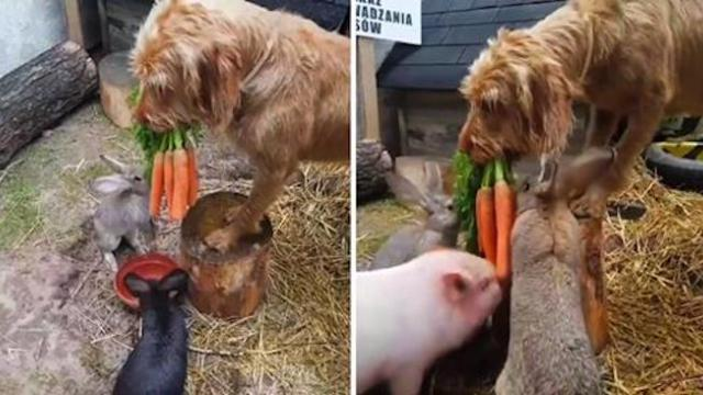 Kalle the dog helps owner feed rabbits with carrots in this adorable