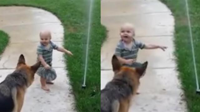 German shepherd afraid of water sprinkler until toddler shows him it's ok
