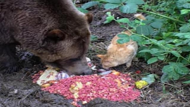 Ginger cat befriends 650 Pounds grizzly bear