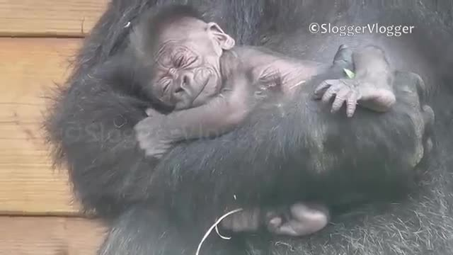 Mamma gorilla holds newborn while big brother puts on a show to get her attention