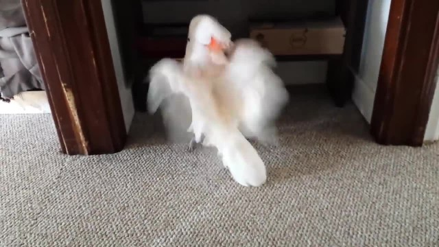 They told their cockatoo he had to go the vet. His tantrum is the best thing ever.