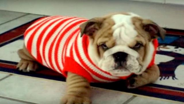 Bulldog puppy hates his new sweater, throws the cutest temper tantrum at mom