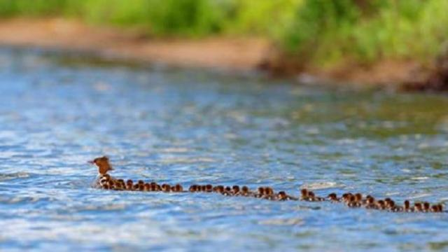 'Super mom' seen on Minnesota lake with 56 ducklings following behind her
