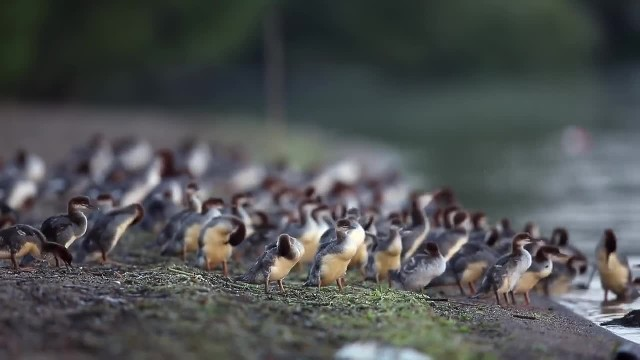 """Super Mom"" Duck Photographed With 76 Ducklings Trailing Behind Her"