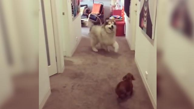 Malamute chases tiny Dachshund, she hides in unusual spot
