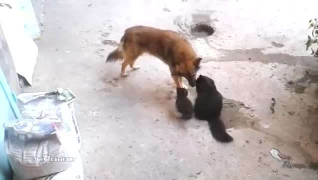 Mama cat and her kitten walk up to this old dog - His reaction is absolutely PRICELESS