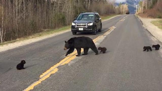Bear Cub Is Unable to Keep Up With His Momma and Siblings, So Cop Comes to Save the Day