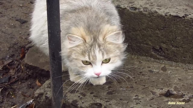 Pregnant cat meows because wants food