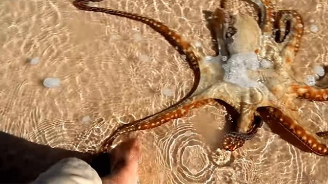 Octopus returns to thank rescuers in most incredible way