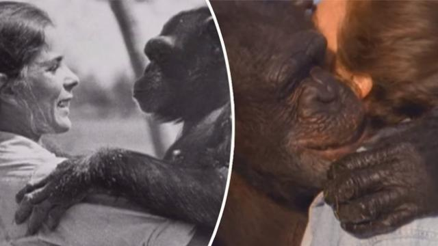 After 25 Years A Woman Is Reunited With Two Chimpanzees In A