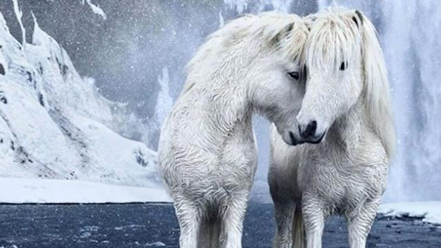 Wild horses photographed among the mythic beauty of iceland's landscapes