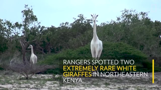 See a Pair of Rare White Giraffes