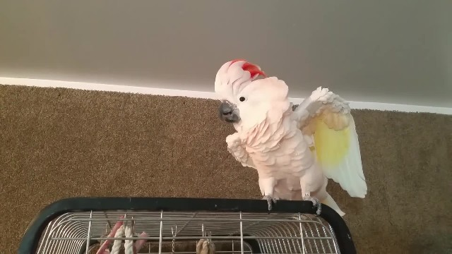 Angry cockatoo is told to go to her cage, throws an expletive-filled tantrum. HILARIOUS!