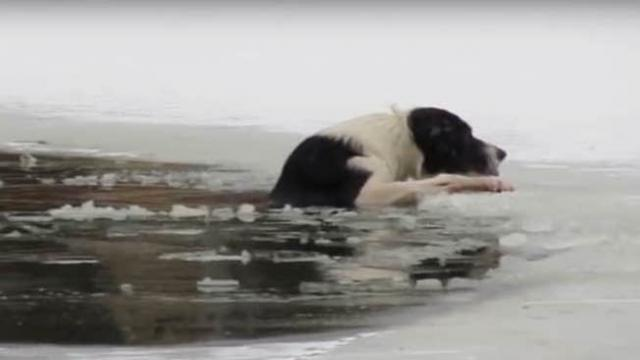 Drowning dog cries out for help from icy pond, finally hero rushes onto ice and rips off clothes