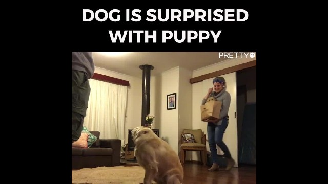 Mom brings home new puppy and older pup's behavior instantly changes when they meet