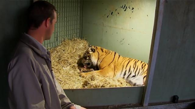 Mother tiger's cub stops breathing after being born, but her instincts kick in and she won't give up
